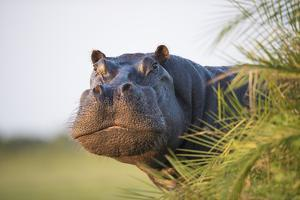 Hippopotamus (Hippopotamus Amphibius) Out of the Water, Peering around Vegetation by Wim van den Heever