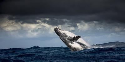 Humpback Whale (Megaptera Novaeangliae) Breaching During Annual Sardine Run