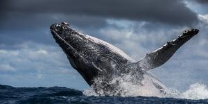 Humpback Whale (Megaptera Novaeangliae) Breaching During Annual Sardine Run by Wim van den Heever