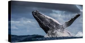 Humpback Whale (Megaptera Novaeangliae) Breaching During Annual Sardine Run by Wim van den Heever