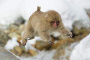 Japanese Macaque (Macaca Fuscata) Youngster Jumping over Small Stream, Jigokudani, Nagano, Japan by Wim van den Heever