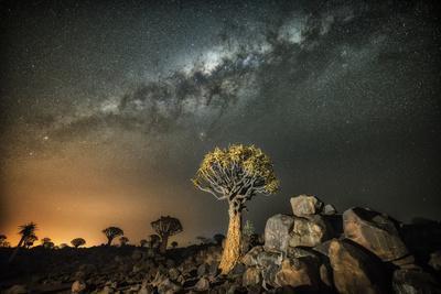 Quiver Tree (Aloe Dichotoma) with the Milky Way at Night
