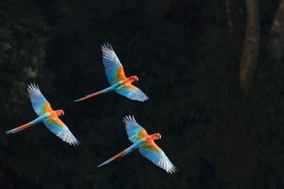 Red-And-Green Macaw (Ara Chloropterus) Group of Three in Flight, Pantanal, Brazil. August