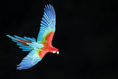 Red-And-Green Macaw (Ara Chloropterus) in Flight, Pantanal, Brazil. August