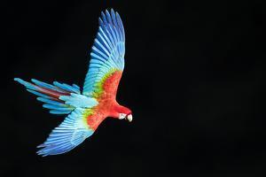 Red-And-Green Macaw (Ara Chloropterus) in Flight, Pantanal, Brazil. August by Wim van den Heever