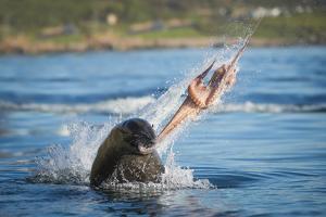 South African Fur Seal (Arctocephalus Pusillus Pusillus) Bull Breaking Apart Octopus by Wim van den Heever
