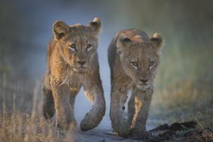 Two African Lion (Panthera Leo) Cubs Walking On A Path. Okavango Delta, Botswana by Wim van den Heever