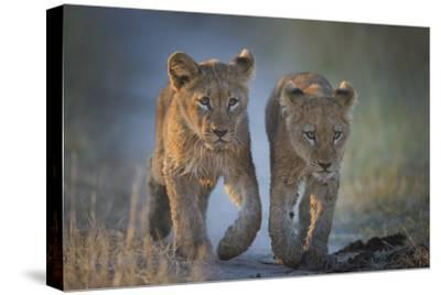 Two African Lion (Panthera Leo) Cubs Walking On A Path. Okavango Delta, Botswana