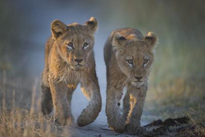 Two African Lion (Panthera Leo) Cubs Walking On A Path. Okavango Delta, Botswana