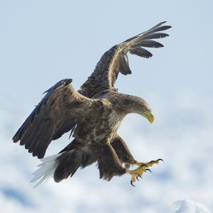White Tailed Sea Eagle (Haliaeetus Albicilla) in Flight Landing, Hokkaido, Japan, February by Wim van den Heever