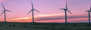 Wind farm with cows at sunrise, Cowley, Alberta, Canada