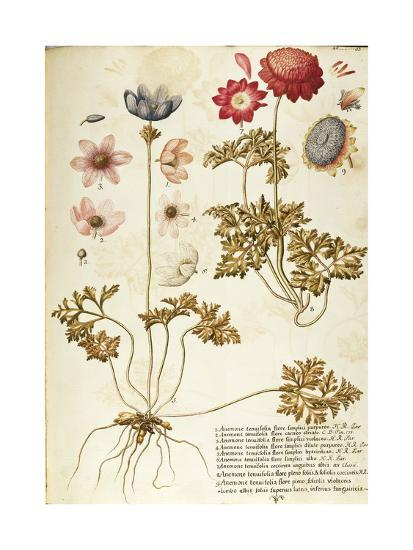Wind Flower (Anemone Pavonina), Ranunculaceae by Francesco Peyrolery, Watercolour, 1753--Giclee Print