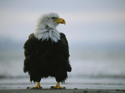 Wind Ruffles the Feathers of an American Bald Eagle--Photographic Print