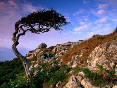 Wind-Sculpted Tree on Rocky Hillside, Connemara, Ireland-Richard Cummins-Photographic Print