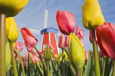 Windmill and Tulips at Wooden Shoe Tulip Farm; Woodburn, Oregon, USA-Design Pics Inc-Photographic Print