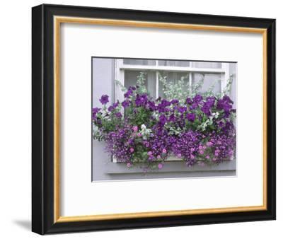 Window Box with Pelargoniums Argyranthemum, Lobelia-Lynne Brotchie-Framed Photographic Print