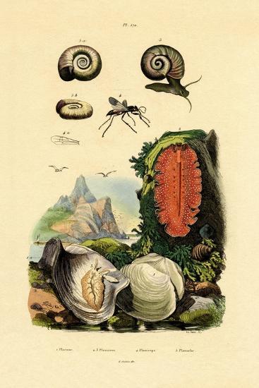 Window Pane Shell, 1833-39--Giclee Print