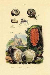 Window Pane Shell, 1833-39