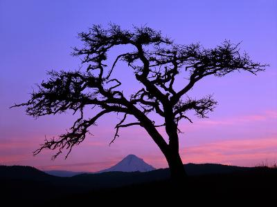 Windswept Pine Tree Framing Mount Hood at Sunset, Columbia River Gorge National Scenic Area, Oregon-Steve Terrill-Photographic Print