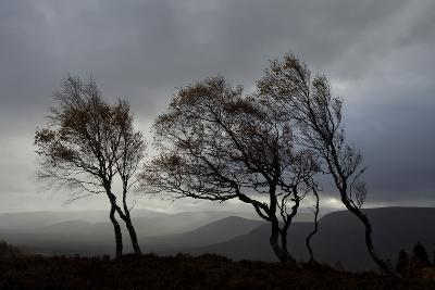 Windswept Silver Birch Trees (Betula Pendula) Silhouetted, Cairngorms Np, Scotland, UK, November-Mark Hamblin-Photographic Print