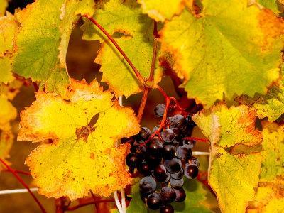 https://imgc.artprintimages.com/img/print/wine-field-chianti-region-tuscany-italy_u-l-p488f30.jpg?p=0