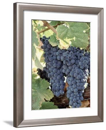 Wine Grapes-Mark Gibson-Framed Photographic Print