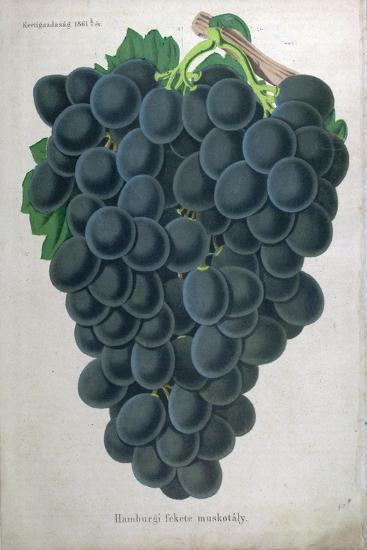 Wine Grapes--Giclee Print