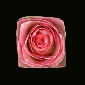 Cubic Pink Rose by Winfred Evers