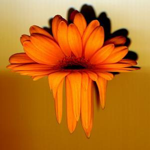 Gerbera Flower Melting, Digital Manipulation by Winfred Evers