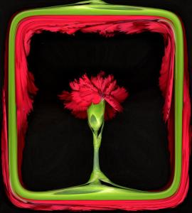 Red Carnation as in a Stage by Winfred Evers