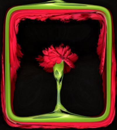 Red Carnation as in a Stage
