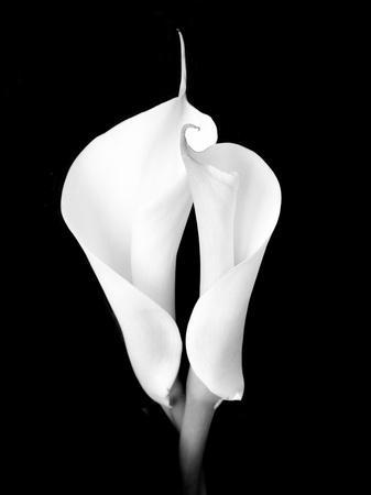 Two White Calla Lilies