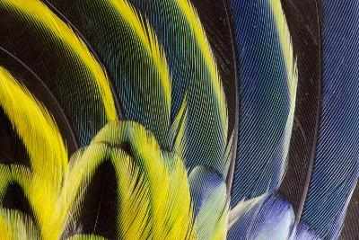 Wing Feathers Fanned Out on Eastern Rosella-Darrell Gulin-Photographic Print