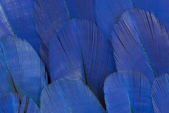 Wing Feathers of the Hyacinth Macaw-Darrell Gulin-Photographic Print