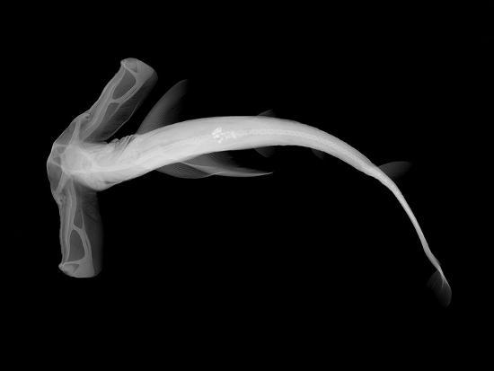 Winghead Shark-Sandra J^ Raredon-Photographic Print