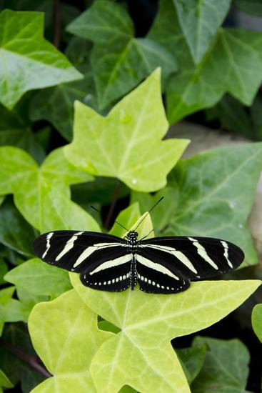 Wings of Mackinac Butterfly Conservatory and Garden, Mackinac Island, Michigan, USA-Cindy Miller Hopkins-Photographic Print