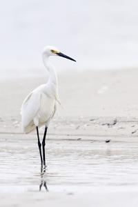 Beach Egret by Wink Gaines