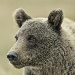 Bear Focus by Wink Gaines