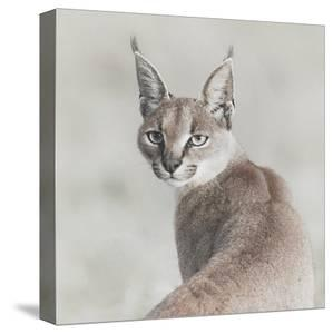 Careful Caracal by Wink Gaines