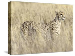 Creeping Cheetah by Wink Gaines