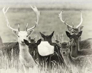 Fallow Deer Herd by Wink Gaines