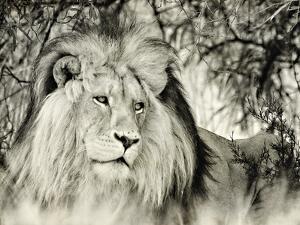 Moketsi Lion by Wink Gaines