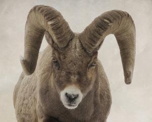 Mouflon Impasse by Wink Gaines