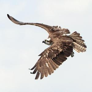 Osprey At Stick Marsh by Wink Gaines