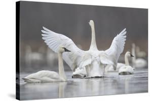 Swan Display by Wink Gaines