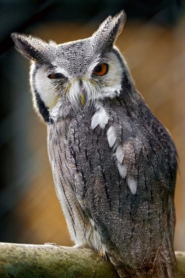 Winking Owl-Picture by Tambako the Jaguar-Photographic Print