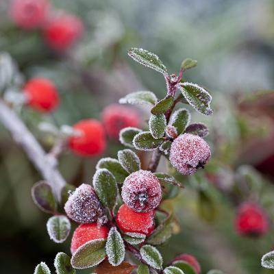 Winter Berries - Square-Lebens Art-Art Print