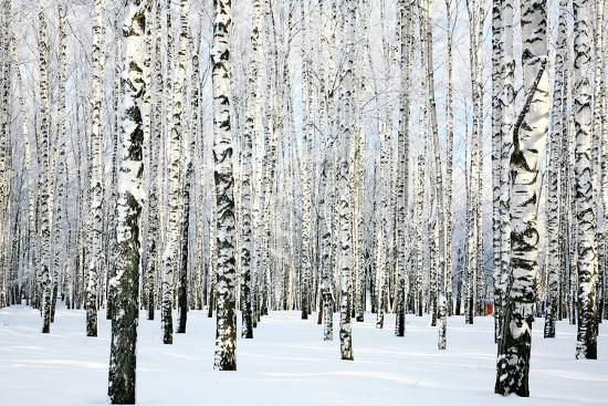 Winter Birch Forest-LeniKovaleva-Photographic Print