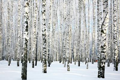 https://imgc.artprintimages.com/img/print/winter-birch-forest_u-l-q104sdv0.jpg?p=0