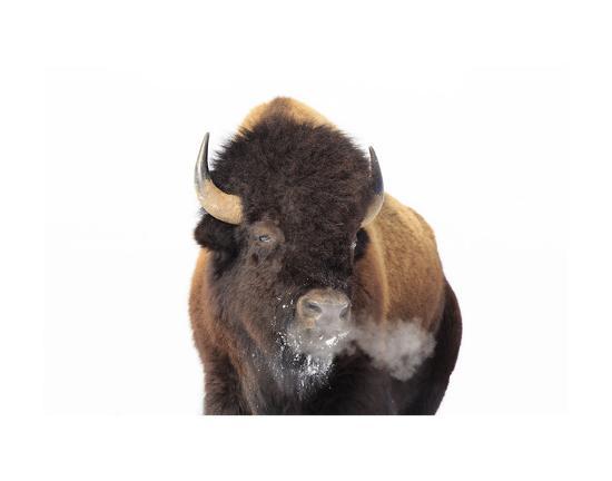 Winter Bison, Yellowstone-Jason Savage-Art Print